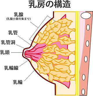 バストの構造は、90%の「脂肪組織」と10%の「乳腺組織」